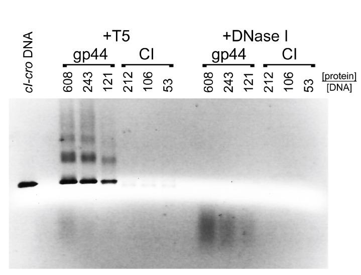 Nuclease protection assay. cI–cro DNA was incubated with varying concentrations of gp44 or CI and incubated with either T5 exonuclease or DNase I (endonuclease), followed by proteinase K treatment, showing that gp44, but not CI, protects the DNA against T5 exonuclease, but that neither protein protects the DNA against DNAse I. The -fold molar excess of protein to DNA is shown above the gel.