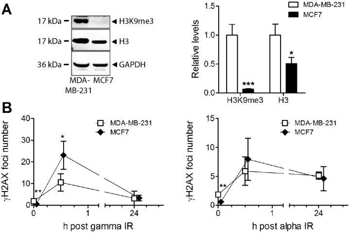 ( A ) Basal levels of H3K9me3 and total protein levels of histone H3 were analysed in MDA-MB-231 and MCF7 cells using Western blot. GAPDH was used as a loading control. ( B ) γH2AX foci numbers are presented at 30 min and 24 h postexposure to 6 Gy of gamma or 2 Gy of alpha radiation in MDA-MB-231 and MCF7 cells. * p