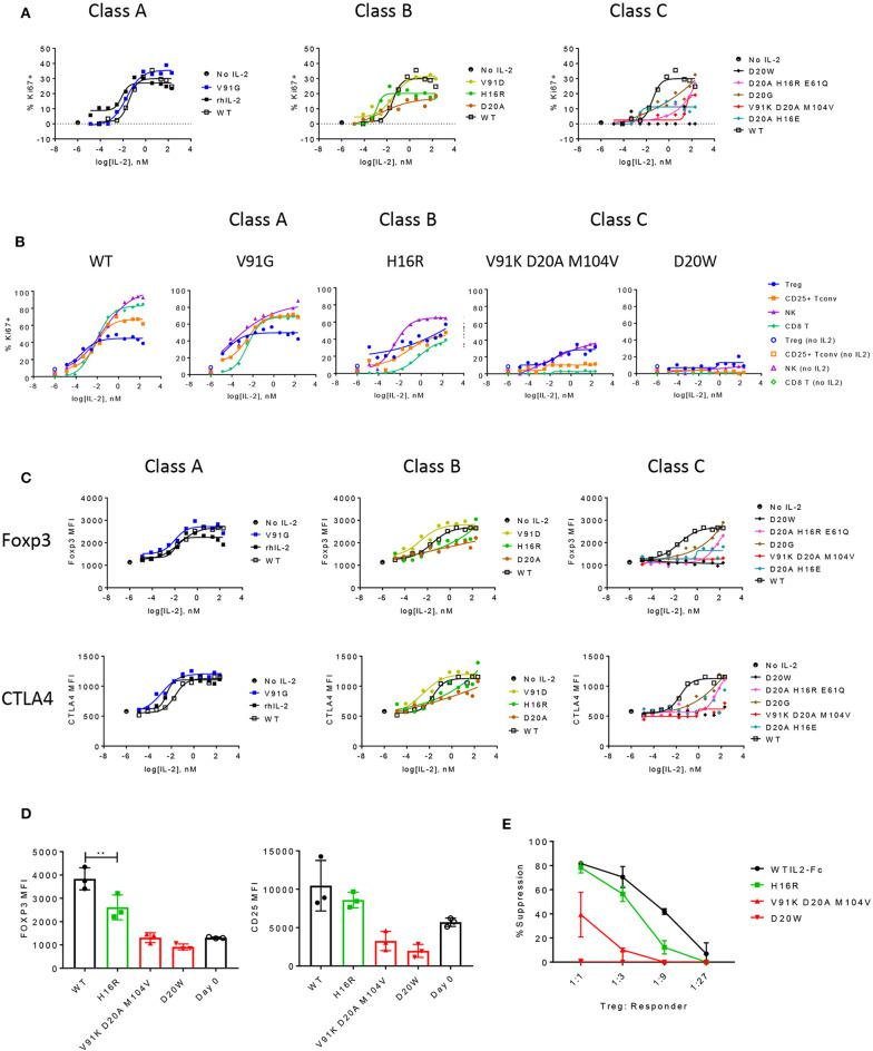 The functional responses of Treg cells are quantitatively sensitive to attenuated IL-2 signal. (A) Proliferation of Treg cells in response to select muteins from each class was measured in human PBMC assay and shown as percent Ki67-positive cells in CD25+ Foxp3+ CD4-gated Treg cells. Shown are data representative of four donors. (B) Proliferative responses measured as percent Ki67 positives of Treg, CD25+ Tconv, NK (CD56+ CD3–), and CD8 T cell gated subpopulations to increasing concentrations of wildtype or IL-2 muteins are compared in a total PBMC assay, for select muteins from each class. Shown are representative of data from four donors. (C) IL-2 mutein activity on induction of Foxp3 and CTLA4 in Treg cells are shown, represented as MFI of Foxp3 or CTLA4 in Foxp3-positive and CTLA4-positive gated Treg cell populations, respectively. (D) Treg phenotype before and after stimulation. Purified human Treg cells were stimulated with anti-CD3 and wildtype or IL-2 mutein at 66.7 nM for 3 days and analyzed for Foxp3 and CD25 expression. Day 0 unstimulated Treg cells analyzed at the same time to show baseline expression of these markers. Each color represents the mutein class or day 0: wildtype (black closed circles), class A (blue), class B (green), class C (red), and day 0 (black open circles). Shown are combined data from three different donors. ** represents p -value of 0.005 from a one-way ANOVA analysis. (E) Treg suppression assay. Purified human Treg cells that were pre-stimulated with anti-CD3 and IL-2 mutein were co-cultured with purified CD8 T cells from an unmatched donor at various ratios. CD8 T cells were stimulated with CD3+CD28 activation beads and Treg-mediated suppression was measured by activation marker induction on CD8 T cells on day 1. These values were converted to percent suppression, each point representing the average of values from two donors. Error bars indicate standard deviation.