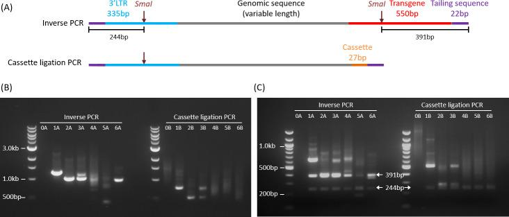 Schematic and agarose gel electrophoresis of PCR amplification products. (A) Schematic representations of PCR amplicons from inverse PCR (upper) and cassette ligation PCR (lower). The theoretical minimum lengths including the tailing sequences (22 bp x 2) are 929 bp and 406 bp, respectively. (B) 1% agarose gel electrophoresis of inverse PCR (left) and cassette ligation PCR (right) products. Lane 0: non-transduced genomic DNA (negative control). A small proportion of bands (especially sample 5A) were smaller than the theoretical minimum lengths. (C) 2% agarose gel electrophoresis of PCR products after SmaI digestion. Arrows point to the expected specific bands.