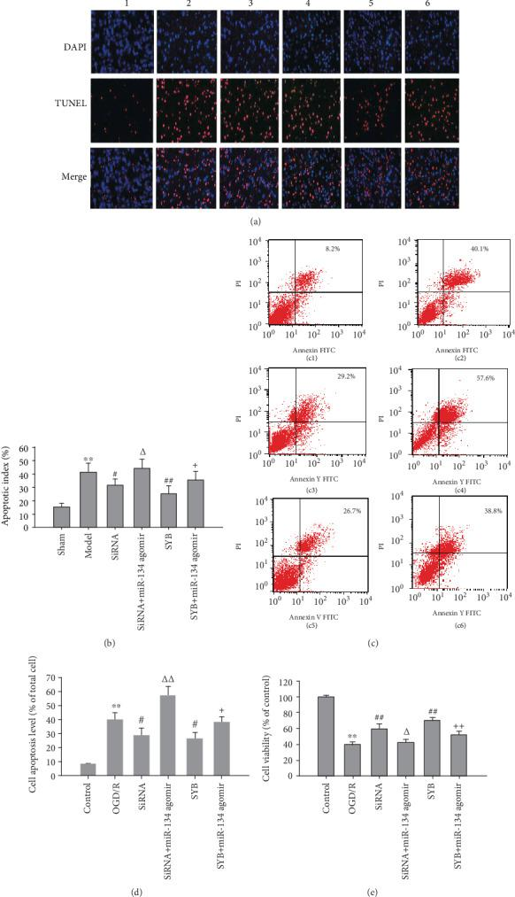 Effect of safflor yellow B on TUNEL-positive cells, cell viability, and apoptosis. Rats were divided into six groups: sham, ischemia/reperfusion (I/R), AK046177 siRNA, AK046177 siRNA+miR-134 agomir, SYB, and SYB+miR-134 agomir. (a) Representative images showing TUNEL-positive cells of cerebral cortex in different groups (×200 magnification; 1, 2, 3, 4, 5, and 6 represent sham, ischemia/reperfusion (I/R), AK046177 siRNA, AK046177 siRNA+miR-134 agomir, SYB, and SYB+miR-134 agomir, respectively). (b) Apoptotic (TUNEL-positive) cells were detected, AI = (number of apoptotic cells/total cell number counted) × 100%( n = 3). Primary fetal cortical cells were seeded in 96-well and 6-well plates and divided into six groups: control, OGD/R, AK046177 siRNA, AK046177 siRNA+miR-134 agomir, SYB, and SYB+miR-134 agomir. Apart from the control group, all cells in the other groups were cultured in glucose-free DMEM and hypoxic conditions (1% O 2 /94% N 2 /5% CO 2 ) at 37°C for 4 h. Thereafter, all groups' media were replaced with normal DMEM, and culturing continued for 20 h of reoxygenation under normoxic conditions (95% air/5% CO 2 ). The cells were pretreated with SYB, AK046177, and miR-134 agomir before being exposed to OGD/R. Cell viability was detected by the MTT method. Cell apoptosis was analyzed using flow cytometry. (c1)–(c6) represent control, OGD/R, AK046177 siRNA, AK046177 siRNA+miR-134 agomir, SYB, and SYB+miR-134 agomir, respectively. (d) represents cell apoptosis ( n = 3). (e) represents cell viability ( n = 8). Data are presented as mean ± SD. One-way ANOVA test was used to determine statistical significance. ∗∗ P