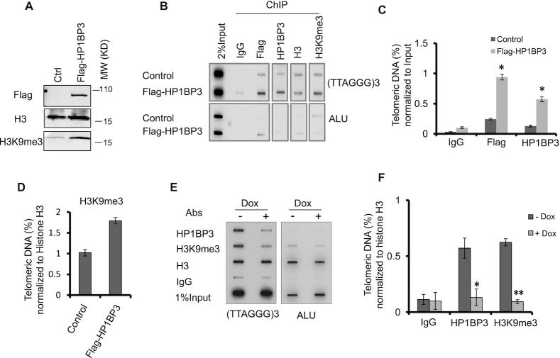 HP1BP3 regulates H3K9me3 occupancy at the telomere chromatin. ( A ) U2OS cells stably expressing vector alone or Flag-tagged HP1BP3 were western blotted as indicated. ( B ) Cells from (A) were used for telomere ChIP analysis with the indicated antibodies. The precipitated DNA was slot blotted and probed with biotin-labeled telomere and ALU probes. Rabbit IgG served as a negative control. ( C, D ) Signals from (B) were quantified and normalized either to input (C) or histone H3 signals (D). Error bars represent mean ± SD; n = 2 independent experiment * P