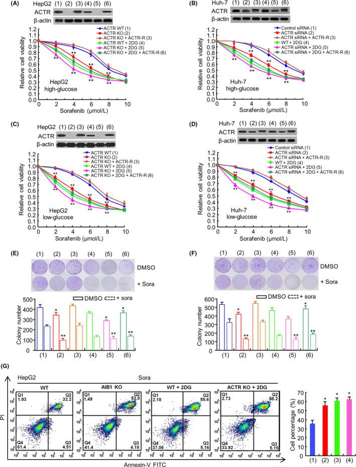 Activator of thyroid and retinoid receptor (ACTR) enhances sorafenib resistance by affecting aerobic glycolysis in vitro. A and B, The relative viability curves of ACTR WT or KO HepG2 cells or ACTR KO HepG2 cells transiently transfected with ACTR, as well as Huh‐7 cells in DMEM with high glucose (25 mmol/L), transfected with ACTR siRNA or ACTR siRNA plus ACTR expression vector or non‐specific control for siRNA (Control siRNA); they were treated with Deoxy‐d‐glucose (2‐DG) (2.5 mmol/L) and increasing concentrations of sorafenib as indicated above. After 72 h, cell viability assays were performed using the CCK‐8. The group without treatment of sorafenib had 100% viable cells and was used as an internal control for comparison. The representative immunoblot with ACTR indicates ACTR expression levels. C and D, The relative viability curves of HepG2 cells (C) or Huh‐7 cells (D) transfected and treated as in (A) or (B) and cultured in DMEM with low glucose (5.5 mmol/L). E and F, Colony formation assays of HepG2 and Huh‐7 cells treated as in (A) and (B) with sorafenib (6 μmol/L) or not. G, Representative flow cytometry analysis of Annexin V (1:1000) and propidium iodide (1:1000) staining was carried out in HepG2 ACTR WT cells, KO cells, WT cells and KO cells treated with 2‐DG (2.5 mmol/L) and sorafenib (6 μmol/L) for 6 h. Data shown are mean ± SD of triplicate measurements that have been repeated three times with similar results. * P