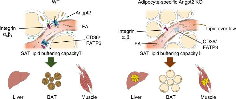 Endothelial-to-adipocyte fatty acid transport determines metabolic health. Schematic diagram depicting Angpt2 produced from adipocytes could regulate endothelial FA transport via CD36 and <t>FATP3</t> through integrin α5β1 signaling to accumulate FAs toward SAT. This process prevents ectopic fat accumulation into endocrine organs, and thus prevents insulin resistance.