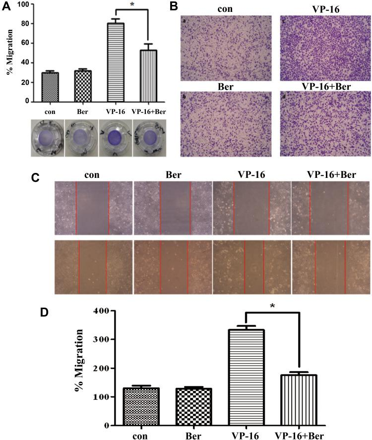 Berberine reversed the apoptosis-induced migration of HepG2 cells. ( A ) After the cells on the bottom of the wells being treated with 2.5 μM VP-16, 3.125 μM Berberine was applied to the system and cultured for 6 days. Crystal violet staining assay was applied to analyze the migration of HepG2 cells. Cell numbers were counted under the microscope. ( B ) Cells from the outer side of the membrane were photographed under the microscope. ( C ) The cells were then exposed to the culture medium of the 7th day's incubation for the Scratch-wound assay. ( D ) Migration of the cells was analyzed by Image J. Each bar represents the mean ± SD of three independent experiments, n=3, *p