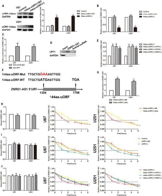 144aa‐uORF suppressed the malignant behaviours of glioma cells by unstabilizing ZNRD1‐AS1 through NMD pathway. A, Western blot was used to investigate the transfection efficiency of 144aa‐uORF. Data are presented as the mean ± SD (n = 3 in each group). ** P
