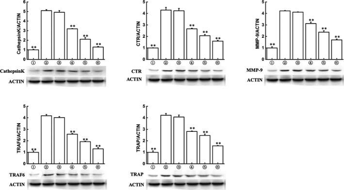 Triptolide inhibits expressions of osteoclastogenesis‐related markers. Western blot and optical density analysis of expression of Cathepsin K, CTR, MMP‐9, TRAF6 and tartrate‐resistant acid phosphatase with beta‐actin as reference (** P