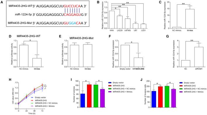 MIR4435‐2HG acts as a sponge for miR‐1224‐5p. A, MiR‐1224‐5p had a binding site for MIR4435‐2HG as predicted by starBase database. B, MiR‐1224‐5p expression in normal human astrocytes (NHA) and GBM cell lines including LN229, U87MG, U87, and U251 was determined by qRT‐PCR (n = 3). C, qRT‐PCR showed the up‐regulation of miR‐1224‐5p expression in U87 cells by transfecting with miR‐1224‐5p mimics (mimics) (n = 3). D and E, Luciferase reporter assay determined the relative luciferase activity of U87 cells by co‐transfection with miRNAs (mimics NC or mimics) and reporter vectors (MIR4435‐2HG‐WT or MIR4435‐2HG‐Mut). F, qRT‐PCR determination of miR‐1224‐5p expression in U87 cells by transfecting with pcDNA3.1 (empty vector) or pcDNA3.1‐MIR4435‐2HG. G, qRT‐PCR determination of miR‐1224‐5p expression in U87 cells by transfecting with MIR4435‐2HG siRNA (siRNA#1) or scrambled siRNA (NC). H‐J, CCK‐8, colony formation and transwell invasion assays were performed to determined cell proliferation, growth and invasion of the transfected/co‐transfected U87 cells. N = 3. * P