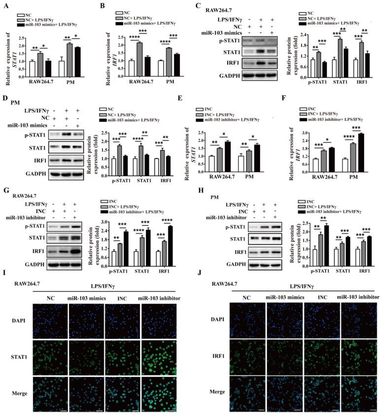 miR-103 inhibits the STAT1/IRF1 signal pathway. RAW264.7 and PM cells were transfected with miR-103 mimics/NC or miR-103 inhibitor/INC, after 24h, the cells were stimulated with or without LPS/IFNγ for 24 h. ( A-B ) STAT1 and IRF1 mRNA expression were detected in RAW264.7 and PM cells transfected with miR-103 mimics or NC by qRT-PCR. ( C-D ) The protein levels of STAT1, p-STAT1 and IRF1 were measured in RAW264.7 and PM cells transfected with miR-103 mimics or NC by western blot. ( E-F ) STAT1 and IRF1 mRNA expression were detected in RAW264.7 and PM cells transfected with miR-103 inhibitor or INC by qRT-PCR. ( G-H ) STAT1, p-STAT1 and IRF1 protein levels were measured in RAW264.7 and PM cells transfected with miR-103 inhibitor or INC by western blot. ( I-J ) Expression of STAT1 and IRF1 were detected in RAW264.7 cells transfected with miR-103 mimics/NC or miR-103 inhibitor/INC by immunofluorescence. DAPI was used to stain the cell nucleus (Scale bar, 50 µm, 200×). Values were listed as the mean± SEM. * P