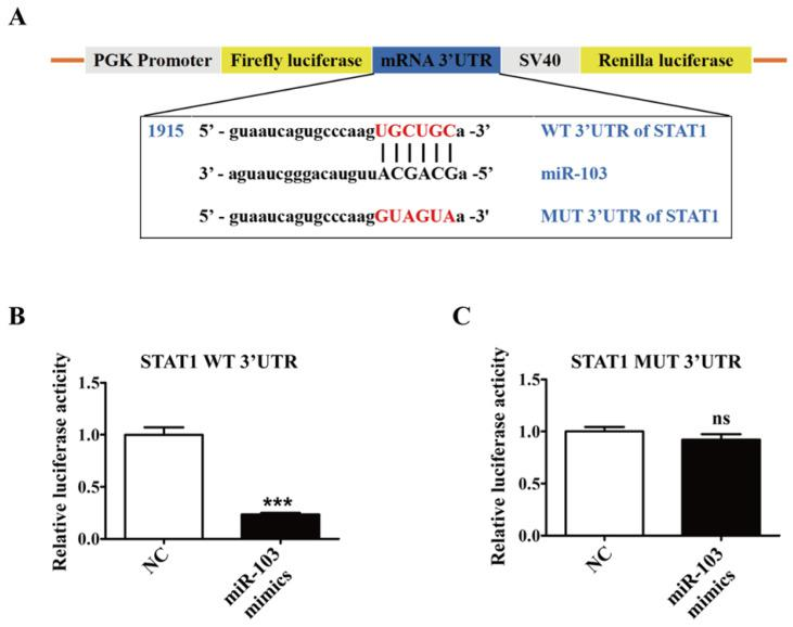 STAT1 is a direct target of miR-103. ( A ) Schematic representation of miR-103 putative binding sequence in the 3'UTR of STAT1 , luciferase activities of wild-type (WT) and mutant (MUT) constructs. ( B-C ) The luciferase activity was determined by co-transfecting the vectors ( STAT1 3'UTR-WT or STAT1 3'UTR-MUT) combined with NC, miR-103 mimics into 293T cells. Values were listed as the mean± SEM. *** P