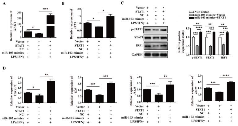 Overexpression of STAT1 can reverse the inhibitory effect of miR-103 on M1 polarization. RAW264.7 cells were co-transfected with miR-103 mimics, STAT1 plasmid or NC, vector for 24 h, followed by treating with LPS plus IFNγ for 24 h. ( A-B ) STAT1 and IRF1 mRNA levels were assessed by qRT-PCR. ( C ) p-STAT1, STAT1 and IRF1 protein levels were assessed by western blot. ( D ) mRNA expression level of M1 macrophages makers CXCL10 , IL6 , IL12b , iNOS were detected by qRT-PCR. Values were listed as the mean± SEM. * P