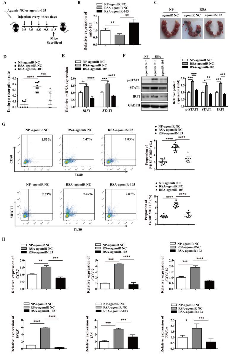 miR-103 suppresses embryo resorption rate and M1 macrophages polarization in vivo . Mice were inspected every morning for vaginal plugs. The day when a plug became visible was designated as Day 0.5 of pregnancy. NP mice and RSA mice were administrated 10 nmol agomiR NC or agomiR-103 on Day 0.5, 3.5, 6.5, 9.5 via tail vein, and execute mice on Day 11.5 of pregnancy. ( A ) Treatment regime of agomiR-103 or agomiR NC and timeline for the measurement of parameters. ( B ) Relative expression of miR-103 was measured by qRT-PCR in the decidua of pregnant mice (n= 10). ( C-D ) Embryo resorption rate of three group mice, arrows indicate the embryo resorption (n= 10). ( E-F ) The mRNA level of STAT1, IRF1 and protein level of p-STAT1, STAT1 and IRF1 were detected in the decidua of pregnant mice (n= 10). ( G ) Dot plot represents labeling of F4/80 + CD80 + (M1) and F4/80 + MHCII + (M1) cell by flow cytometry in the decidua of pregnant mice (n= 10). ( H ) Relative expression of CCL2 , CXCL9 , CXCL10 , iNOS , IL6 , TNF-α was analysed by qRT-PCR in the decidua of pregnant mice (n= 10). Values were listed as the mean± SEM. * P