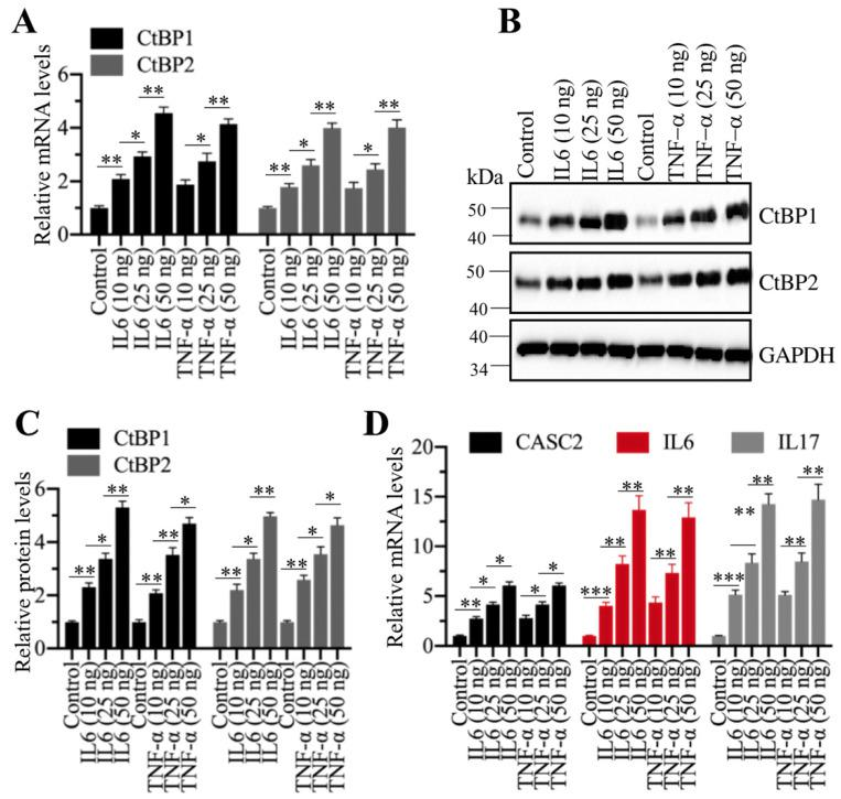 Recombinant IL6 and TNF-α induced the expression of CtBPs at both transcriptional and protein levels. (A) IL6 and TNF-α induced the mRNA levels of CtBPs . The MIA PaCa-2 cells were treated with IL6 and TNF-α at the concentrations of 0, 10, 25 and 50 ng/mL for 6 h. The resulting cells were used for RNA isolation, followed by qRT-PCR analyses to determine the mRNA levels of CtBP1 and CtBP2 . ** P