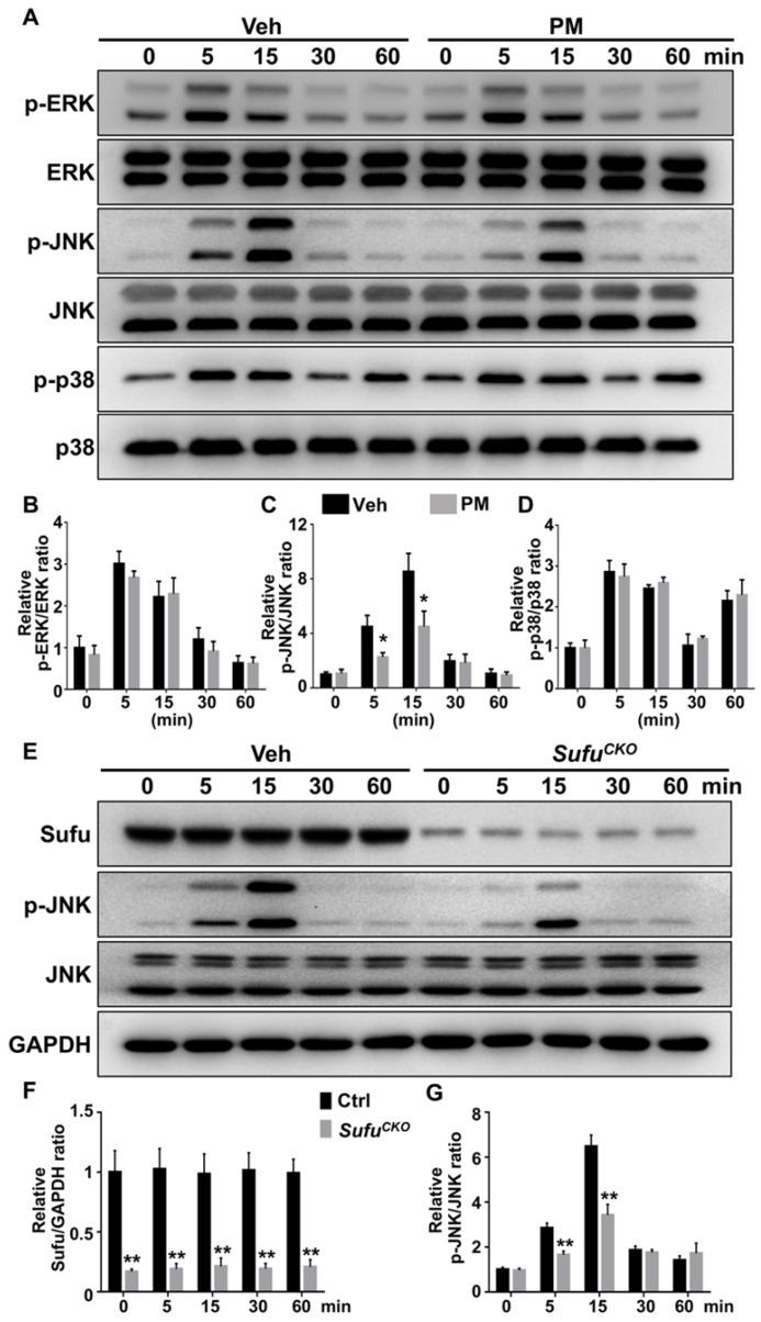Activation of Hh signaling inhibited RANKL-induced activation of JNK pathway. (A) Western blot analyses of protein levels of phosphorylated ERK (p-ERK), total ERK, phosphorylated JNK (p-JNK), total JNK, phosphorylated p38 (p-p38), and total p38 in BMMs treated with 50 ng/ml RANKL in the presence of vehicle (Veh) or 2 µM PM (PM) for indicate times. Representative images from three independent biological replicates were shown. (B-D) Quantitative analyses of relative ratios of p-ERK/ERK (B), p-JNK/JNK(C) and p-p38/p38 (D). n=3 per group. All bar graphs were presented as mean ± SD. * P