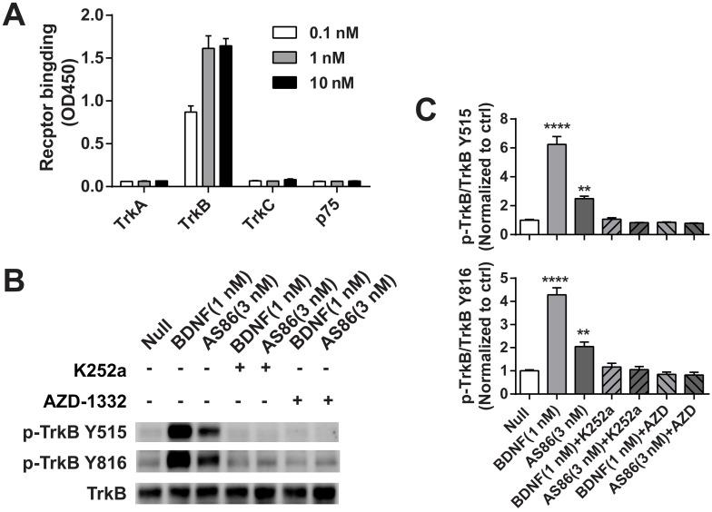 The specificity of TrkB agonistic antibody AS86. (A) AS86 at different concentrations (0.1 nM, 1 nM and 10 nM) was added to the plates coated with different proteins (0.1 μg TrkA, TrkB, TrkC, or p75 respectively), and ELISA was used to examine the binding capacity of AS86. (B, C) Cultured hippocampal neurons (DIV10) were pretreated with the Trk inhibitors k252a (300 nM) or AZD-1332 (100 nM) for 60 min before incubation with mIgG (3 nM), BDNF (1 nM), or AS86 (3 nM) for 15 min (N = 2, n = 3). The Western blots of TrkB Y515 and Y816 sites activation (B) and the quantitative plots (C) are presented. Unless specifically indicated otherwise, statistical analyses in this and all other figures were carried out using one-way ANOVA followed by post hoc test. Symbols for P values (for both ANOVA and Student's t -test): *: p