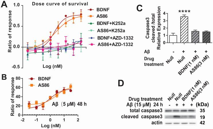 Cell survival function of AS86. ( A ) Attenuation of serum-deprivation induced cell death by AS86. Different doses of BDNF or AS86 were applied to serum-deprived cultures of hTrkB-PC12 cells in the absence or presence of Trk inhibitors (300 nM K252a or 50 nM AZD-1332) for 16 hours, and the levels of apoptosis were determined by the ratio of the number of caspase 3 positive cells to total number of cells, using a caspase 3-substrate kit. Survival rates were measured by the decreased apoptotic levels normalized to that of vehicle treatment (n = 3). ( B ) Attenuation of Aβ induced cell death by AS86. Hippocampal neurons were pretreated with AS86 or BDNF for 30 minutes, followed by treatment with Aβ (25-35) (5 µM). Cell viability was analyzed with ATP level quantification assay 48 hours later (N = 2 independent experiments, n = 6 samples). ( C, D ) Inhibition of Aβ induced apoptotic signals by AS86. Hippocampal neurons were pretreated with AS86 or BDNF for 30 minutes, followed by treatment with Aβ (25-35) (15 µM) for 24 hours. Total and cleaved caspase3 levels were measured using Western blotting (N = 3 independent experiments, n = 3 replicates). Representative Western blots (D) and quantitative plots (C) are presented.