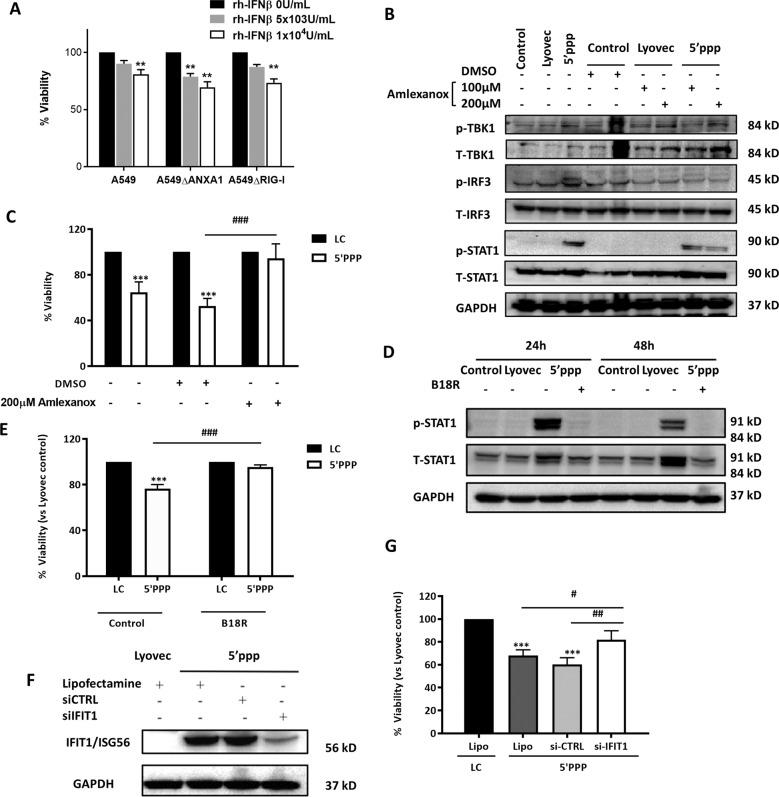 5′ppp-RNA activation of RIG-I stimulates the <t>IRF3–IFNβ–IFNAR–STAT1–IFIT1</t> pathway to induce cell death of A549 cells. Cells were transfected with Lyovec control or 1 μg/ml of 5′ppp-RNA with Lyovec. b , d , f Lysates were collected at indicated times after 5′ppp-RNA transfection and assayed for the indicated proteins. Blots are representative of three independent experiments. a , c , e , g Cell viability was determined using Cell Titer assay and normalized to the Lyovec control after 72 h. Specifically, cells were a treated with human recombinant IFNβ for the stated times, b , c pre-and cotreated with 100 or 200 μM Amlexanox, a TBK1 antagonist 1 h prior to 5′ppp-RNA transfection, d , e pre-and co-treated with 0.1 μg/ml B18R an IFNAR antagonist 1 h prior to 5′ppp-RNA transfection, and f , g transfected with negative siCTRL and siIFIT1 16 h post-transfection of 5′ppp-RNA. Data is represented as mean ± SEM of n = 3 independent experiments. * P