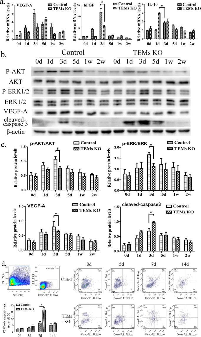 ( a ) Quantitative reverse transcription polymerase chain reaction (RT-PCR) to assess mRNA expression of VEGF-A, bFGF and IL-10 with the total RNAs obtained from the control/TEM-KO mice choroids at different time points (0, 1, 3, 5, 7, and 14d). ( b ) AKT, p-AKT, ERK, p-ERK, VEGF-A and cleaved caspase-3 protein expression was detected using Western blot in the injured choroid plexus from the control/TEM-KO mice. ( c ) The mean grey value of the Western blot was determined and described as mean ± SEM. Cropped blots are displayed in the figure, and full-length gels and blots were included in the Supplementary information file. ( d ) In the flow cytometry detection, the apoptotic rate of the CD31 + cells of the mice choroid were tested at 0, 5, 7, and 14d after laser injury. N = 30 (control group); n = 30 (TEM-KO group). The left superior two images represent the viable cells and the CD31 + cells among the viable cells. * p