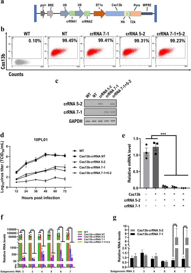 Cas13b mediates the efficient knockdown of the PRRSV genome in lentiviral transgenic MARC-145 cells. ( a ) Schematic diagram for lentiviral transfer gene constructs encoding Cas13b and crRNAs. ( b ) Determination of Cas13 effector expression levels in puro-selected transgenic cells by flow cytometry analysis. ( c ) The expression of corresponding crRNAs in each cell line was detected by PCR. PCR products were separated by 5% agarose gels. ( d ) The growth kinetics of HP-PRRSV strain 10PL01 with an MOI of 0.1 in transgenic cells. ( e ) The Cas13b cleavage activity on PRRSV genomic RNA was determined by qRT-PCR with primers targeting the NSP9 gene. ( f ) The PRRSV subgenomic RNA levels were measured by qRT-PCR with a set of specific primers targeting each subgenomic RNA. ( g ) Comparison of each subgenomic RNA knockdown efficiency between cells expressing Cas13b-crRNA 5-2 and Cas13b-crRNA 7-1. Values are shown as the mean ± SEM with n = 3. ***refers to P value