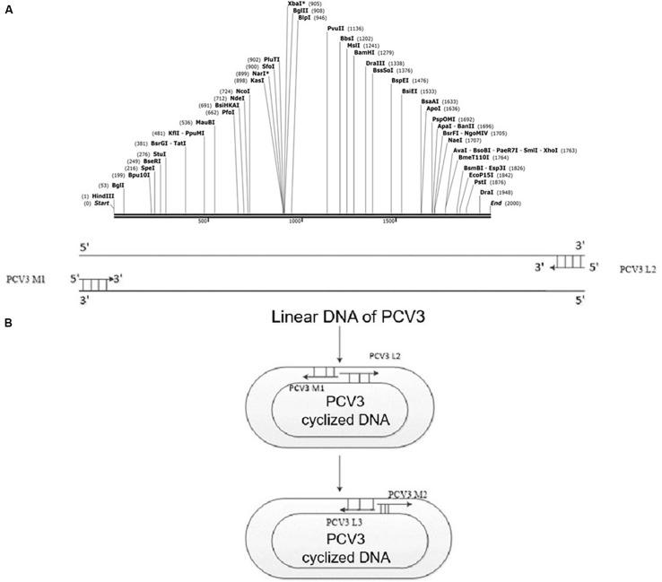 PCV3 viral gene rearrangement. (A) Rearranged linear gene sequence of PCV3 containing Hin <t>dIII</t> restriction sites. The Hin dIII restriction site acted as the reopening site, added to the end of the linear sequence after the opening process. (B) <t>PCR</t> detection after PCV3 cyclization. Specific primers, covering PCV3 M2 and PCV3 L3, were designed to verify whether the PCV3 gene sequence was cyclized. However, the PCV3 linear sequence could not be amplified by the mentioned primers.