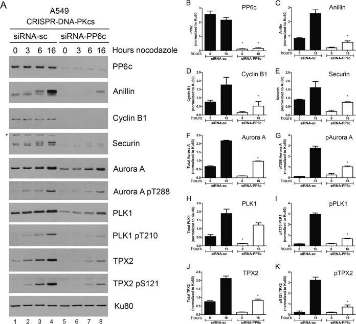 Depletion of PP6 does not rescue nocodazole-induced downregulation of mitotic proteins in DNA-PKcs-deficient A549 cells. The experiment was carried out exactly as for Fig. 5 , but A549–CRISPR–DNA-PKcs cells were used. The asterisk on the securin blot indicates a nonspecific band. The error bars indicate standard deviations.