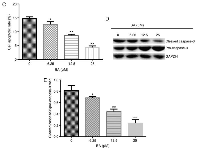 BA promotes podocyte viability and decreases apoptosis. Podocytes were treated with 6.25, 12.5 or 25 µM BA for 24 h. (A) MTT assay was used to determine the cell viability. (B) Apoptotic rate of podocytes was analyzed using flow cytometry. (C) Cell apoptotic rate was calculated. (D) Western blotting was used to analyze the protein expression levels of pro-caspase-3 and cleaved caspase-3. (E) Semi-quantification of the ratio between cleaved caspase-3/pro-caspase-3. All data are presented as the mean ± SD. * P