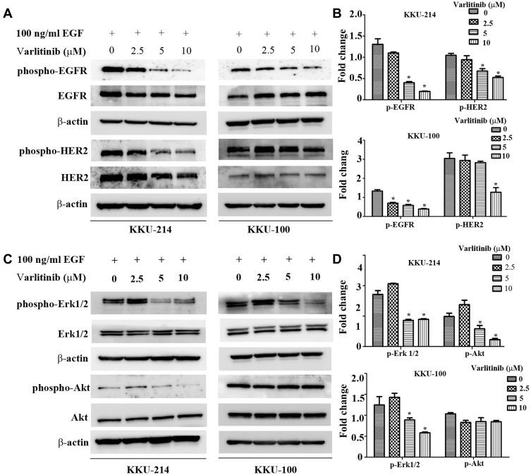 Molecular mechanisms by which varlitinib suppresses CCA cell growth. KKU-214 and KKU-100 cells were exposed to varlitinib at the indicated concentrations for 24 hrs, then induced with 100 ng/mL of EGF for 30 mins, proteins expression level were determined by Western blot analysis. Notes: ( A ) The activation of EGFR and HER2. ( B ) The expression of p-EGFR and p-HER2 after normalized with total EGFR, HER2 and β-actin. ( C ) The activation the downstream signaling molecules Erk1/2 and Akt. ( D ) The expression of p-Erk1/2 and p-Akt after normalized with total Erk1/2, AKT and β-actin. Data in ( B and D ) are represented as mean±SD of three independent experiments. Asterisks indicate statistical significance (p