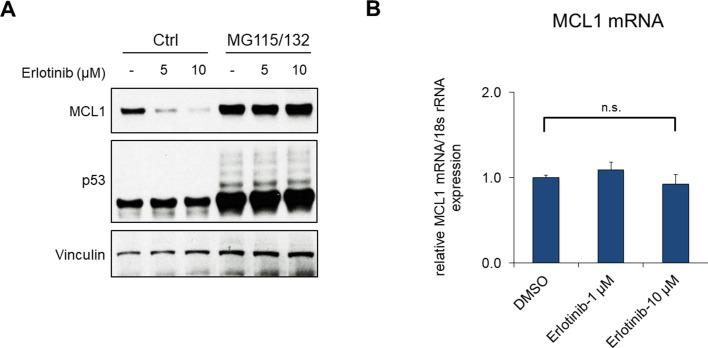 EGFR inhibition increases proteasome-dependent MCL1 degradation. ( A ) LNCaP cells were pretreated with MG115 (10 μM) and MG132 (10 μM) for 30 min, followed by treatment with erlotinib for 4 hr. ( B ) LNCaP cells were treated with DMSO or erlotinib for 2 hr, followed by MCL1 mRNA measurement by qRT-PCR. 18 s rRNA was used as an internal control (n.s., not significant).