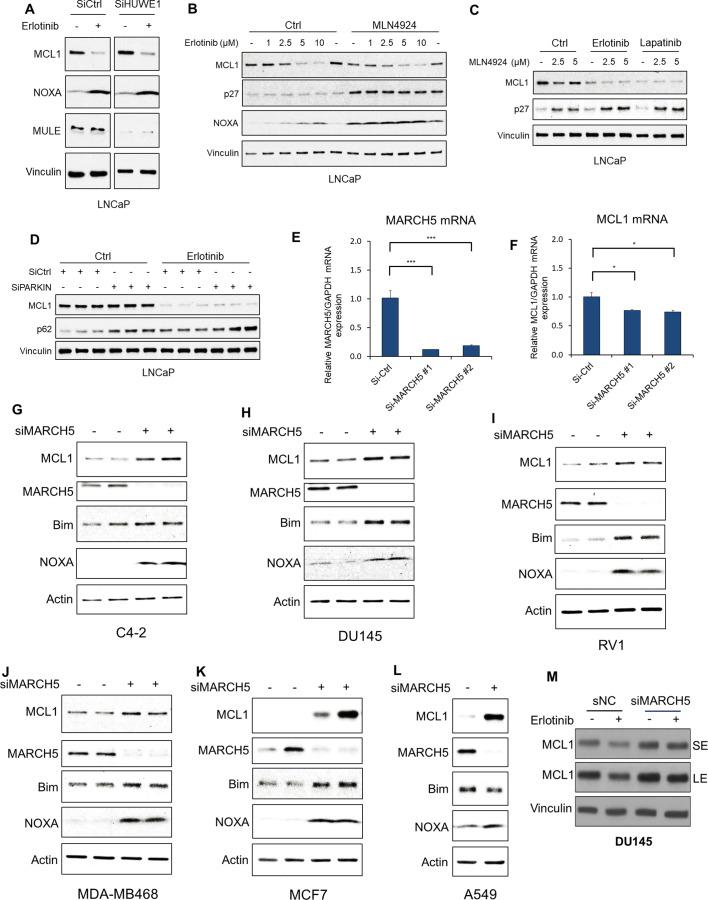 MARCH5 knockdown increases MCL1 in additional PCa, breast, and lung cancer cell lines. ( A ) LNCaP cells transfected with pooled HUWE1 (MULE) siRNAs or non-target control siRNA were treated with erlotinib (10 μM) for 5 hr, followed by immunoblotting. ( B ) LNCaP cells were pretreated with NEDD8 inhibitor MLN4924 (2.5 μM) for 1 hr, followed by treatment with erlotinib (0–10 μM) for 4 hr. Efficacy of NEDD8 block by MLN4924 was confirmed by blotting for p27. ( C ) LNCaP cells were pretreated with MLN4924 (0–5 μM) for 1 hr, followed by treatment with DMSO, erlotinib (10 μM), or EGFR/ERBB2 inhibitor lapatinib (10 μM) for 3 hr. ( D ) LNCaP cells transfected with pooled PARKIN siRNAs or non-target control siRNA were treated with erlotinib (10 μM) for 4 hr.( E and F ) LNCaP cells were transfected with MARCH5 pooled siRNAs (#1, Dharmacon), an individual siRNA (#2, Fisher) or non-target control. MARCH5 mRNA ( E ) and MCL1 mRNA ( F ) were measured by qRT-PCR. GAPDH was used as an internal control. (*, p