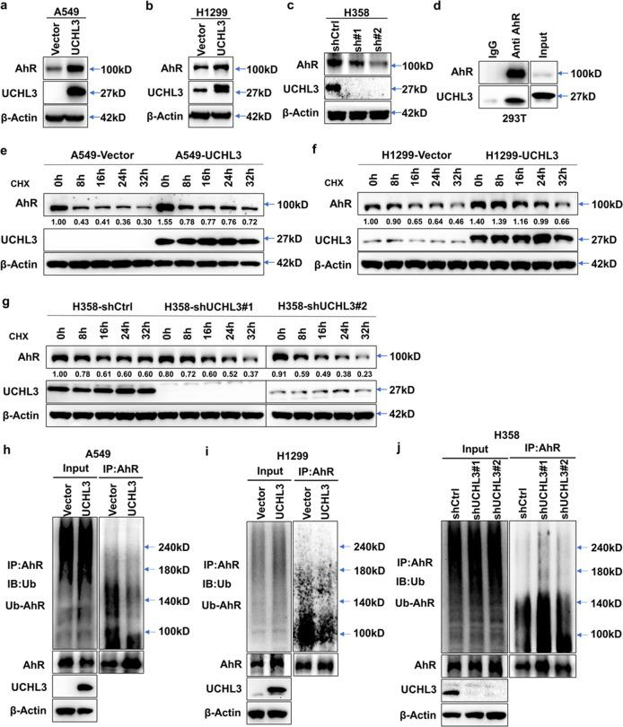 UCHL3 interacts with AhR and stabilizes the AhR protein through deubiquitination. a–c Western blot analysis was used to detect the expression level of AhR in A549 ( a ), H1299 ( b ) and H358 ( c ) cells after overexpression or depletion of UCHL3. d Exogenous UCHL3 and AhR proteins interacted in HEK293T cells. AhR and UCHL3 were coexpressed in HEK293T cells, and the AhR protein was immunoprecipitated with anti-AhR antibody. IgG served as a negative control, and exogenous UCHL3 was detected by WB. e , f UCHL3 overexpression delayed AhR protein degradation. After the treatment of UCHL3-overexpressing A549 ( e ) and H1299 ( f ) cells with cycloheximide (CHX, 10 μg/ml) for the indicated durations, AhR protein expression was analyzed by WB. Quantification of the AhR protein band was performed using ImageJ software. g UCHL3 knockdown enhanced AhR protein degradation. After UCHL3 knockdown, H358 cells were treated with cycloheximide (CHX, 10 μg/ml) for the indicated duration, and AhR protein expression was analyzed by WB. Quantification of the AhR protein band was performed using ImageJ software. h, i The lysates of A549 ( h ) and H1299 ( i ) cells stably overexpressing UCHL3 and vector-transfected cells containing 1 mg of total protein for each panel were immunoprecipitated with 2 μg of anti-AhR antibody, following which AhR ubiquitination was examined using anti-Ub antibody. j The lysates of stable UCHL3-knockdown H358 cells and shCtrl-transfected cells containing 1 mg of total protein were immunoprecipitated with 2 μg of anti-AhR antibody, and AhR ubiquitination was examined using anti-Ub antibody