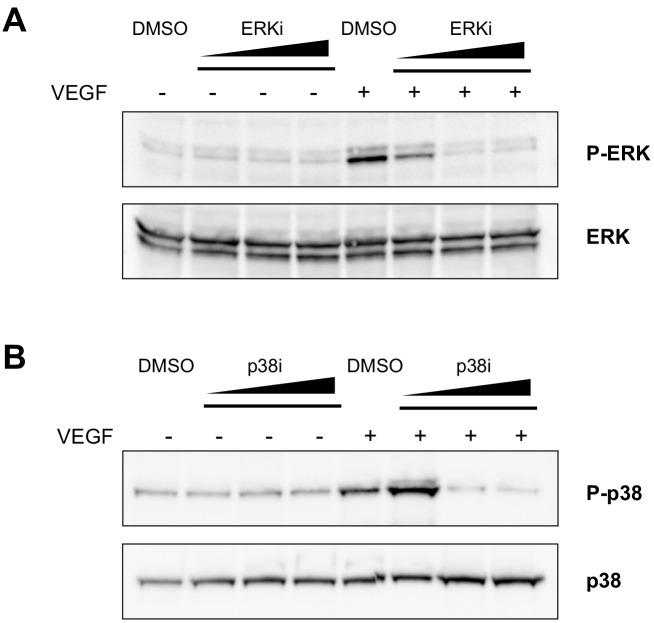 Assessment of the effective concentrations of ERK and p38 inhibitors in ECs. ( A ) Western blot showing ERK phosphorylation, detected with an anti-phospho-ERK antibody (P-ERK), upon VEGF-A stimulus in the presence of an increasing concentration (10, 100, 300 nM) of the ERK inhibitor SHC 772984, or vehicle (DMSO). Total ERK was used as protein loading control. ( B ) Western blot showing p38 phosphorylation, detected with an anti-phospho-p38 antibody (P–p38), upon VEGF-A stimulus in the presence of increasing concentration (10, 100, 300 μM) of the p38 inhibitor SB 202190, or vehicle (DMSO). Total p38 was used as protein loading control. Data are representative of three independent experiments.