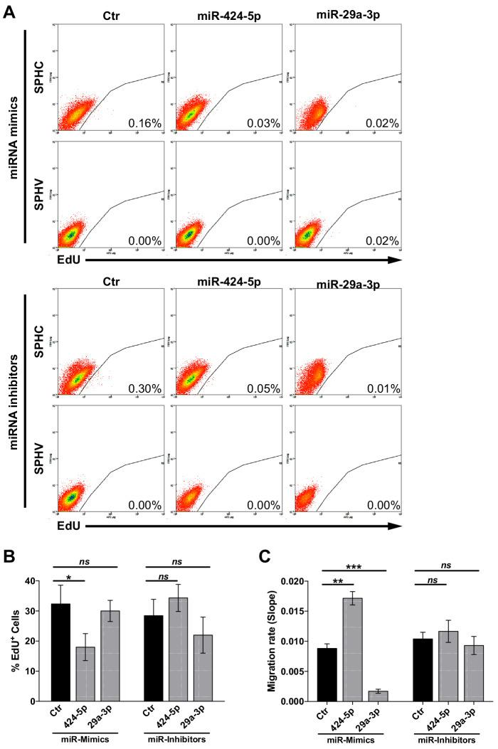Assessment of <t>VEGF-A-induced</t> cell proliferation and migration upon modulation of miR-424–5p or miR-29a-3p. ( A ) Cell proliferation assessed by cytofluorimetric analysis of EdU incorporation into the DNA in control spheroids (SPHC) or VEGF-A-stimulated spheroids (SPHV) generated with ECs transfected with miR-424–5p or miR-29a-3p mimics or inhibitors or their respective controls. Representative plots for n = 3 experiments. ( B ) Cell proliferation assessed by cytofluorimetric analysis of EdU incorporation into the DNA during cell replication in 2D cultured HUVECs transfected with miR-424–5p or miR-29a-3p mimics or inhibitors, or respective transfection controls. The assay was performed after 18 hr of VEGF stimulation. Data are represented as mean ± SEM from n = 3 experiments. ( C ) VEGF-induced cell migration of HUVECs transfected with miR-424–5p or miR-29a-3p mimics or inhibitors, or respective transfection controls, assessed by xCELLigence and represented as the slope of the migration curve over a 24 hr experiment. Data are represented as mean ± SEM from n = 3 experiments. ***, p