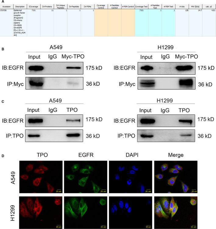 TPO interacts with the EGFR protein. A, Mass spectrometric analysis predicted that TPO could interact with EGFR. B, Interaction between transfected TPO and EGFR was verified by co‐immunoprecipitation assays in A549 and H1299 cells. A549 and H1299 cells were collected 48 h after transfection with pCMV6‐Myc‐DDK‐TPO plasmids. Cell lysates were immunoprecipitated with anti‐Myc antibodies (# 2276; Cell Signaling Technology) or control IgG and examined by anti‐EGFR antibody (#4267; Cell Signaling Technology) and anti‐Myc antibodies (# 2278; Cell Signaling Technology). C, Interaction between endogenous TPO and EGFR was verified by co‐immunoprecipitation assays in A549 and H1299 cells. Cell lysates were immunoprecipitated with anti‐TPO antibody (sc‐374045; Santa Cruz Biotechnology) or control IgG and examined by anti‐EGFR antibody (#4267; Cell Signaling Technology) and anti‐TPO antibody (ab196026; Abcam). D, Immunofluorescence staining in A549 and H1299 cells showed that endogenous TPO and EGFR were colocalized in the cytoplasm. Magnification, ×400