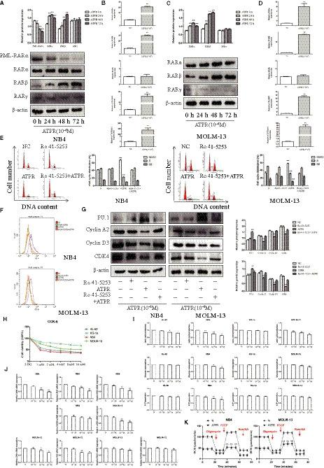 ATPR shows antileukaemic effects with RARα dependent. (A) The NB4 cells were treated with ATPR (10 −6 M) for different durations (24h–72 h). The protein expression of PML‐RARα, RARα, RARβ and RARγ was assessed by Western blotting (Mean ± SD, n = 3). (B) Values are presented as the mean ± SD (n = 3) of three in Quantitative real‐time PCR analysis of mRNA expression of RARα, RARβ, RARγ, CRABP2 and CYP26A1 treated with ATPR (10 −6 M) for 48h in NB4 cells‐dependent experiments. (C) The MOLM‐13 cells were treated with ATPR (10 −6 M) for different durations (24h–72h). The protein expression of RARα, RARβ and RARγ was assessed by Western blotting (Mean ± SD, n = 3). (D) Values are presented as the mean ± SD of three in Quantitative real‐time PCR analysis of mRNA expression of RARα, RARβ, RARγ, CRABP2 and CYP26A1 treated with ATPR (10 −6 M) for 48h in MOLM‐13 cells‐dependent experiments. (E) The cell cycle distribution was analysed by flow cytometry (Mean ± SD, n = 3). (F) CD11b expression was analysed by flow cytometer. (G) The protein expression of PU.1, Cyclin A2, CDK4 and Cyclin D3 was assessed by Western blotting (Mean ± SD, n = 3). (H) AML cells were exposed to various concentrations (0, 2, 4, 8 or 10mM) of 2‐DG for 72 h, followed by the determination of cell viability using the CCK8 assay. (I) AML cells were exposed to various concentrations (0, 10 −7 , 10 −6 , or 10 −5 M) of ATPR for 72 h, followed by the determination of the glycolysis rate using the glucose, lactic acid and ATP detection kit (Mean ± SD, n = 3). (J) Values are presented as the mean ± SD of three in Quantitative real‐time PCR analysis of mRNA expression of LDHB, LDHA, HK2, ENO1 and GAPDH treated with ATPR (10 −6 M) for 48h in MOLM‐13 and NB4 cells‐dependent experiments (K) The OCR was determined in MOLM‐13 and NB4 cells by Seahorse XF. * P