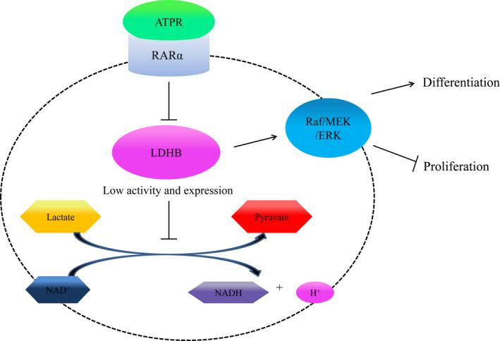 ATPR triggers AML cells differentiation and cycle arrest via the RARα/LDHB/ERK‐glycolysis signalling axis. ATPR triggers AML cells differentiation and cycle arrest via the RARα/LDHB/ERK‐glycolysis signalling axis