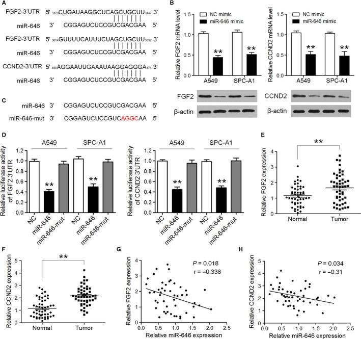FGF2 and CCND2 were direct targets through which miR‐646 regulated proliferation and invasion of NSCLC cells. (A) Predicted binding sites of miR‐646 in the 3′UTR of FGF2 and CCND2 . (B) The expression levels of FGF2 and CCND2 mRNA and protein were detected by qRT‐PCR and Western blotting in A549 and SPC‐A1 cells after transfection of miR‐646 mimic or NC mimic. (C) Sequence of miR‐646‐mut. (D) Luciferase activity was analyzed in A549 and SPC‐A1 cells co‐transfected with miR‐646 mimic or miR‐646‐mut mimic with FGF2‐3'UTR or CCND2‐3'UTR reporters. (E,F)The average expression level of FGF2 and CCND2 in NSCLC tissues and adjacent noncancerous lung tissues. (G,H) Pearson's correlation analyses between miR‐646 expression and the expression of FGF2 and CCND2 in NSCLC tissues. * P