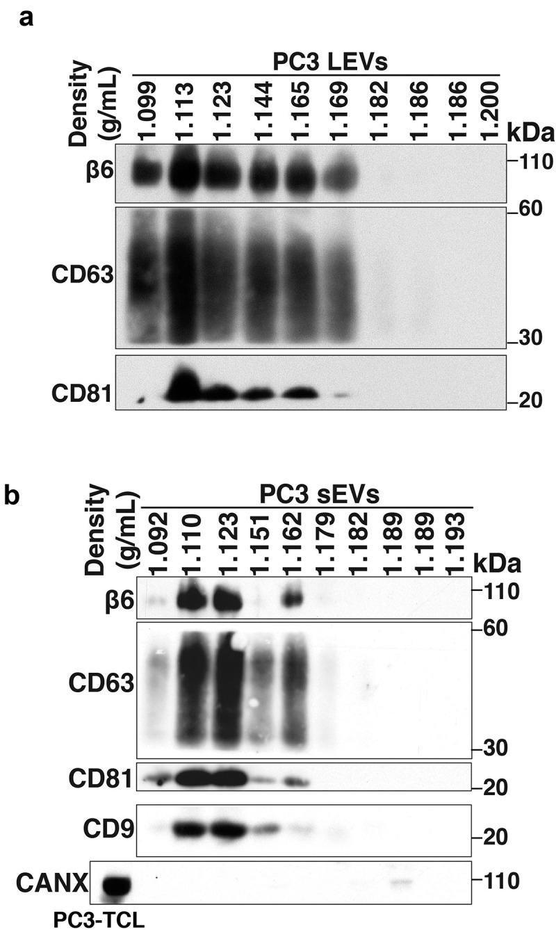 Characterisation of prostate cancer cell-derived αvβ6-positive LEVs and αvβ6-positive sEVs. (a) Iodixanol density gradient analysis of PC3 cell-derived large extracellular vesicles (PC3 LEVs) was performed as described in the Materials and methods. Expression of β6 integrin subunit, CD63 and CD81 analysed by immunoblotting (IB) (non-reducing conditions) in LEV lysates of 10 consecutive iodixanol density gradient fractions is shown. (b) Iodixanol density gradient analysis of PC3 cell-derived small extracellular vesicles (PC3 sEVs) was performed as described in the Materials and methods. IB analysis for expression of β6 integrin subunit, CD63 and CD81 (non-reducing conditions) and CD9 (reducing conditions) in sEV lysates of 10 consecutive iodixanol density gradient fractions is shown. IB of CANX (reducing conditions) in PC3-total cell lysates (PC3-TCL) and sEV lysates of 10 consecutive fractions is shown. Different gels were used to separate samples under reducing or non- reducing conditions