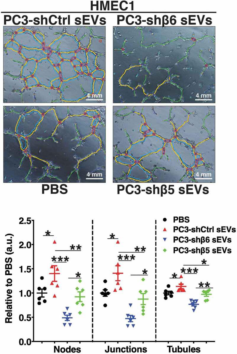 Down-regulation of αvβ6 integrin in prostate cancer sEVs modulates the angiogenic potential of microvascular endothelial cells. HMEC1 were seeded (1.5 × 10 4 , replicates n = 3) on 96-well plates coated with Matrigel and incubated with PBS or iodixanol density gradient separated sEVs (0.3 × 10 9 vesicles) from PC3-shCtrl, -shβ6 or -shβ5 cells. The upper panel shows representative micrographs ( n = 6 different fields for each group) of tubes formed during tube formation assays on HMEC1 after 5 h incubation with respective sEV type. The lower panel shows dot plots representing the number of nodes, junctions and tubules formed by HMEC1 in each sEV incubation group relative to PBS ( n = 6 different fields for each group). Values are reported as mean ± SEM, * P