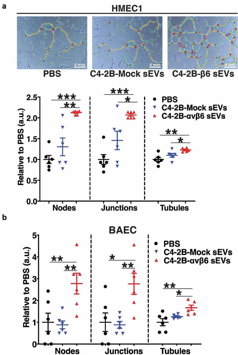 Expression of αvβ6 integrin in prostate cancer sEVs modulates the tube forming potential of endothelial cells. (a) HMEC1 were seeded (1.5 × 10 4 , replicates n = 3) on 96-well plates coated with Matrigel and incubated with PBS or iodixanol density gradient separated sEVs (0.3 × 10 9 vesicles) from C4-2B-Mock or -αvβ6 cells. The upper panel shows representative micrographs ( n = 6 different fields for each group) of tubes formed by HMEC1 after 5 h incubation with respective sEV type. The lower panel shows dot plots representing the number of nodes, junctions and tubules formed by HMEC1 in each sEV incubation group relative to PBS ( n = 6 different fields for each group). (b) BAEC were seeded (1.5 × 10 4 , replicates n = 3) on 96-well plates coated with Matrigel and incubated with PBS or iodixanol density gradient separated sEVs (0.3 × 10 9 vesicles) from C4-2B-Mock or -αvβ6 cells. Dot plots represent the number of nodes, junctions and tubules formed by BAEC 8 h after incubation with each sEV group relative to PBS ( n = 6 different fields for each group). Values are reported as mean ± SEM, * P