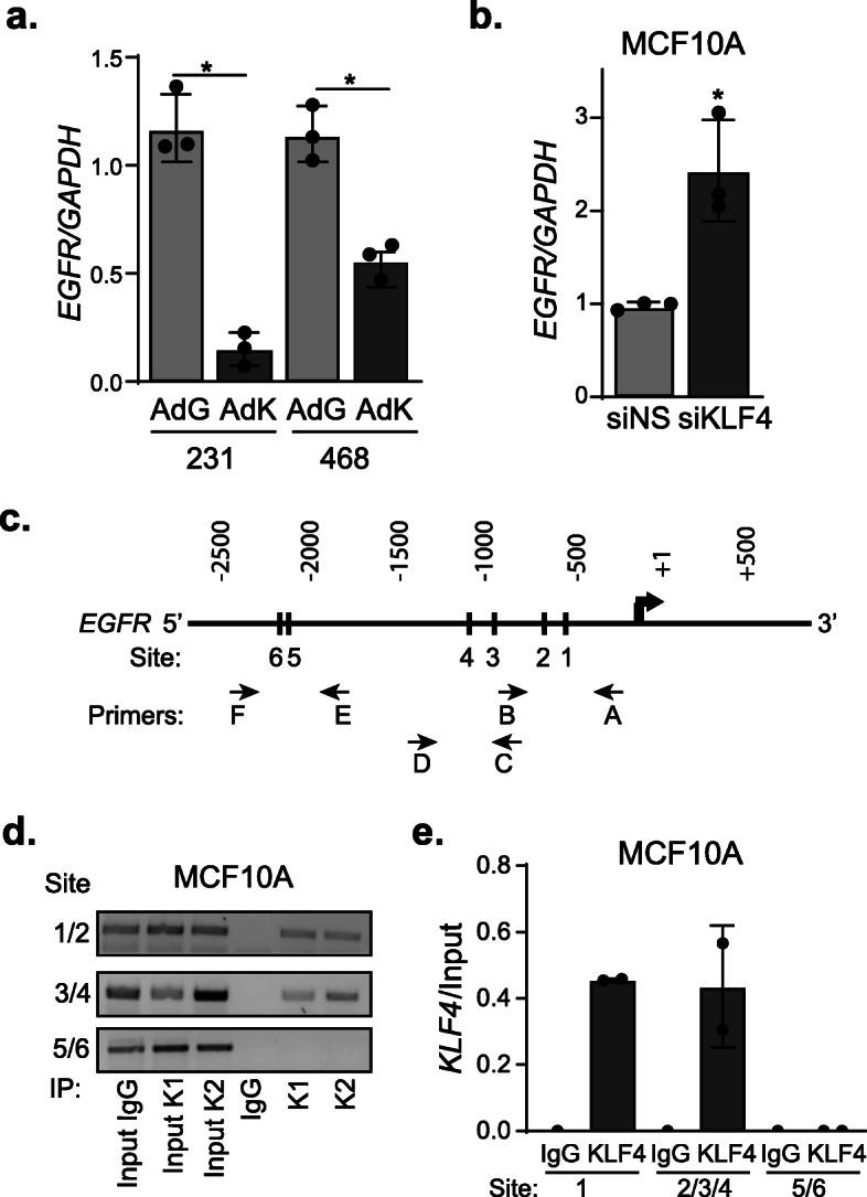 KLF4 represses transcription of the EGFR gene. a RT-qPCR quantitation of EGFR mRNA levels following infection of MDA-MB-231 (231) and MDA-MB-468 (468) cells with AdGFP or AdKLF4. b RT-qPCR analysis of EGFR mRNA after silencing KLF4 in MCF10A cells. c Schematic of EGFR promoter-specific sites (1–6) used to detect KLF4 binding by ChIP-PCR. Three primer sets (A/B, C/D, and E/F) were used as indicated in the schematic and labels. Primers are listed in Table S 1 . d Gene-specific ChIP-PCR gel of MCF10A cells assessing the binding of KLF4 protein to the EGFR gene locus (hg19) where K1 and K2 are technical replicates for KLF4 immunoprecipitation. e Quantitation of d relative to the input. a , b Completed in three independent experiments in triplicate with * p