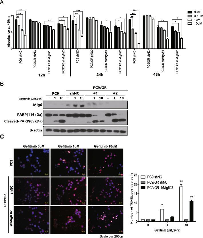 Mig-6 inhibition restores sensitivity to EGFR-tyrosine kinase inhibitors (TKIs) in PC9/GR cells. a Cell viability was assessed using the CCK-8 assay after transfection with Mig-6 siRNA or scrambled siRNA and treatment with various doses of gefitinib. Data are shown as the mean ± SD; * P