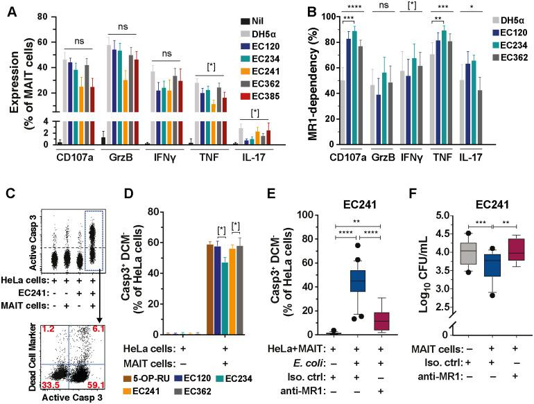 MAIT cells respond to and control CREC. (A) Expression of CD107a, GrzB, IFNγ, TNF, and IL-17A in MAIT cells stimulated for 24 h with E . coli strains <t>DH5α</t> ( n = 16), EC120S ( n = 7), and the carbapenem-resistant strains EC234 ( n = 16), EC241 ( n = 5), EC362 ( n = 16), and EC385 ( n = 5). Unstimulated, n = 16. (B) MR1-dependency of effector protein and cytokine production by MAIT cells stimulated with indicated strains. MR1-dependency was calculated as previously described [ 2 ] ( n = 7). (C) Representative flow cytometry plots of Casp3 activation and apoptosis in HeLa cells alone, HeLa cells infected with EC241, or co-cultured with MAIT cells with or without EC241 for 3 h. (D) Apoptosis of HeLa cells alone or co-cultured with MAIT cells for 3 h in the presence of 5-OP-RU, EC120S, EC234, EC241, or EC362 ( n = 5). (E, F) Casp3 activation (E) and bacterial loads (F) in HeLa cells infected with EC241 co-cultured with MAIT cells in the presence of anti-MR1 antibody or isotype control ( n = 5–8 for EC241-infected HeLa cells+anti-MR1 mAb, n = 13–25 others). Data presented as bar graphs with error bars represent the mean and standard error. Box and whisker plots show median, the 10th to 90th percentile, and the interquartile range. Statistical significance was determined using the Kruskal-Wallis ANOVA (A) or the Friedman test (B, D) followed by Dunn's multiple comparison test, or mixed-effects analysis followed by Dunnett's multiple comparison test (E, F). **** p