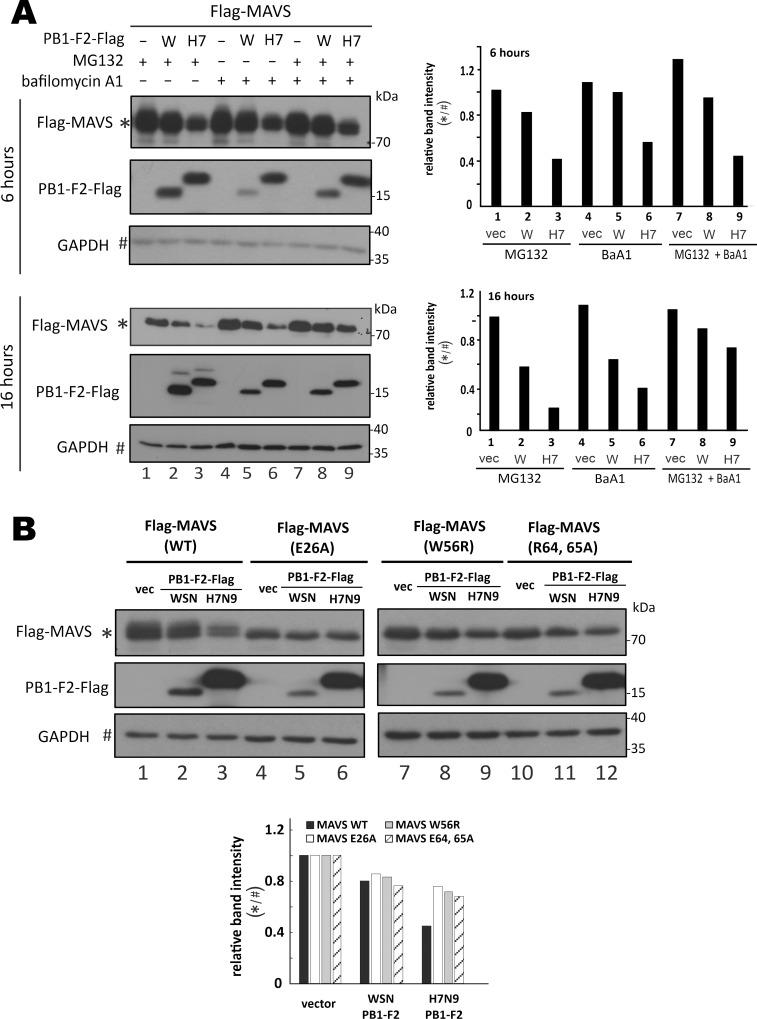 H7N9 PB1-F2-induced destabilization of MAVS protein aggregate for proteasomal and lysosomal degradation. ( A ) Treatment with proteasome and lysosome inhibitors. HEK293T cells in 6-well plates were co-transfected with 1 μg PB1-F2-Flag expression construct and 1 μg pEF-Bos-Flag-MAVS. After 24 hours, 20 μM MG132, 100 nM bafilomycin A1 (BaA1) or their combination was added for 6 or 16 hours before cells were harvested for total protein extraction and SDS-PAGE Western blot analysis against anti-Flag. Relative band intensity of MAVS over GAPDH was plotted in the right panel. ( B ) Analysis of aggregation-defective mutants of MAVS. HEK293T cells were co-transfected with 0.5 μg PB1-F2 expression construct and 0.5 μg pEF-Bos-Flag-MAVS WT, E26A, W56R or R64, 65A. After 48 hours, total protein was extracted from the cells and subjected to SDS-PAGE followed by Western blot analysis with anti-Flag for detection of MAVS at 70 kDa and PB1-F2 at 15-20kDa. Relative band intensity of MAVS over GAPDH was plotted in the lower panel. Three independent experiments were performed with similar results.