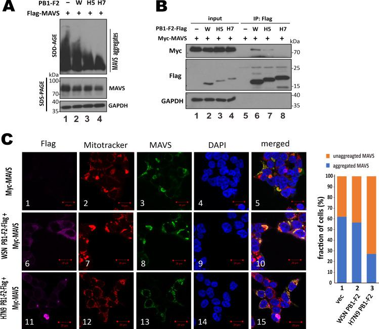 Suppression of MAVS aggregation by H7N9 PB1-F2. ( A ) SDD-AGE analysis of MAVS aggregation. HEK293T cells in 6-well plates were co-transfected with 1 μg pEF-Bos-Flag-MAVS and 0.2 μg expression construct for PB1-F2 of WSN, H5N1 or H7N9 virus. After 48 hours, cells were harvested for SDD-AGE or SDS-PAGE followed by Western blot analysis with anti-MAVS. ( B ) Co-immunoprecipitation assay for PB1-F2-MAVS association. HEK293T cells in 60mm dishes were co-transfected with 1 μg pCAGEN-myc-MAVS and 0.5 μg PB1-F2-Flag expression construct. After 48 hours, cells were harvested for co-immunoprecipitation with anti-Flag (IP: Flag). Both input and immunoprecipitates were analyzed by SDS-PAGE and Western blot analysis with anti-Myc for MAVS, anti-Flag for PB1-F2 and anti-GAPDH for normalization. ( C ) Distribution of unaggregated MAVS on fissioned mitochondria in cells expressing H7N9 PB1-F2. HEK293T cells in 6-well plates were co-transfected with 0.25 μg of CAGEN-V5-MAVS and 0.25 μg of PB1-F2-Flag expression constructs. After 48 hours, cells were stained with 500 nM Mitotracker Red CMXRos for 30 min and then fixed with 4% paraformaldehyde and probed with anti-Flag for PB1-F2, anti-MAVS and DAPI. The stained cells were analyzed by confocal microscopy. Fractions of cells with unaggregated and aggregated MAVS were calculated by counting 100 cells per sample. Aggregated MAVS or PB1-F2 was visually defined as concentrated dots or structures with intense MAVS or PB1-F2 signal. Bars, 20 μm. Similar results were obtained from three independent experiments.