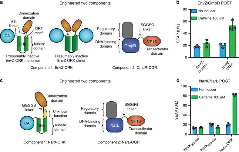 EnvZ/OmpR and NarX/NarL POST. a Schematic of the engineered ORK/OGR proteins based on EnvZ/OmpR. In the ORK, short linkers consisting only of the two amino acids AS were used to reduce interdomain flexibility between the acV H H and the kinase domain and between the CA and DHp domains by replacing the native GQEMP linker. We hypothesize that this change results in inactive dimers. b Induction of EnvZ/OmpR POST with caffeine. The EnvZ mutant without acV H H (EnvZ 232–450;GQEMP:AS ) was included as a negative control. c Schematic of the engineered ORK/OGR proteins based on NarX/NarL. d Induction of NarX/NarL POST with caffeine. The NarX truncations without acV H H were included as negative controls. The bar charts show the mean ± s.d. of n = 3 biologically independent samples overlaid with a scatter dot plot of the original data points, measured at 24 h after induction, and the results are representative of three independent experiments. Source data are provided as a Source Data file.