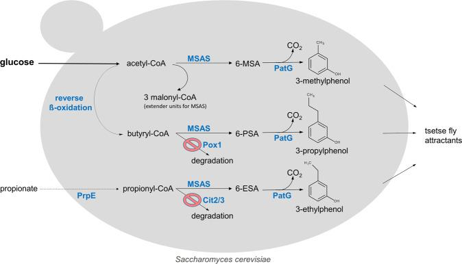 Metabolic pathways for 3-alkylphenol production in S. cerevisiae . In S. cerevisiae the heterologous polyketide synthase MSAS, activated by phosphopantetheinyl transferase (NpgA), catalyses the formation of 6-methylsalicylic acid (6-MSA) utilizing malonyl-CoA as extender unit and acetyl-CoA as priming unit. Intracellular propionyl-CoA can be increased by expression of a bacterial propionyl-CoA synthase (PrpE), propionate feeding and deletion of (methyl) citrate synthase genes CIT2/3 to abolish its degradation. MSAS can then utilize propionyl-CoA as priming unit to catalyse the formation of 6-ethylsalicylic acid (6-ESA). The heterologous 'reverse ß-oxidation' pathway 21 , 22 is providing the priming unit butyryl-CoA from acetyl-CoA for the formation of 6-propylsalicylic acid (6-PSA). Finally, 6-MSA decarboxylase (PatG) converts the 6-alkylsalicylic acids, 6-MSA, 6-ESA or 6-PSA, to their respective 3-alkylphenols (3-methylphenol, 3-ethylphenol or 3-propylphenol) that are valuable tsetse fly attractants.