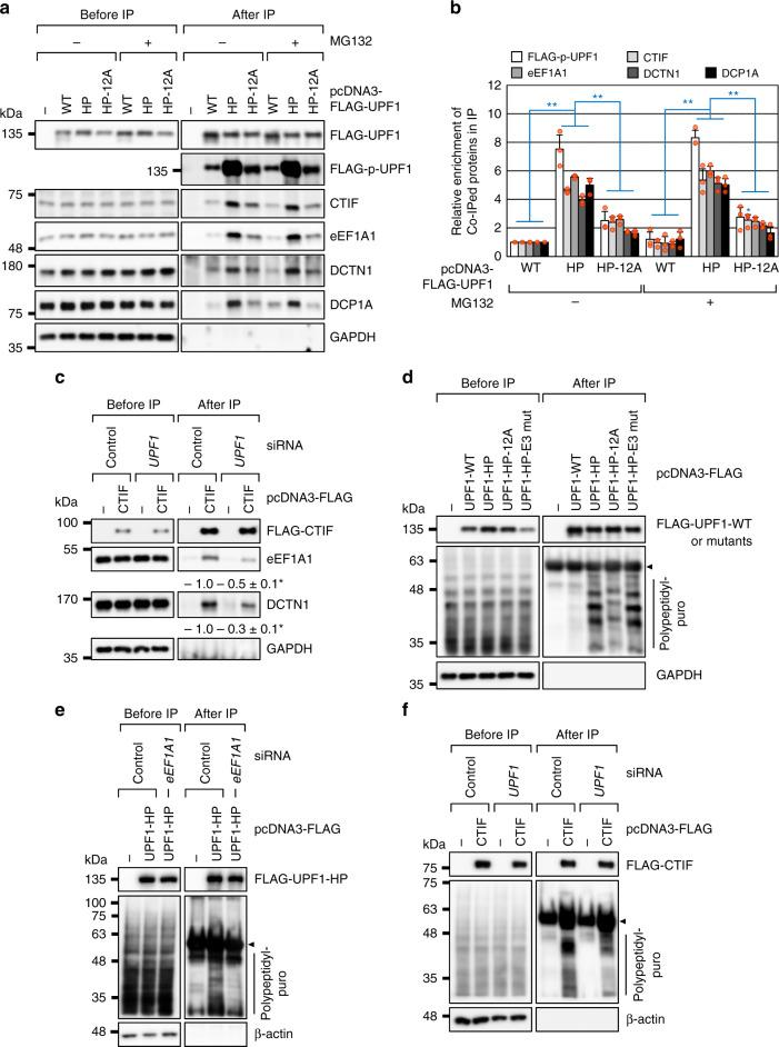 Hyperphosphorylated UPF1 promotes CED complex formation. a IPs of FLAG-UPF1: either WT or one of its variants. HEK293T cells transiently expressing the indicated protein were treated with either DMSO or MG132 for 12 h before harvesting. The cell extracts were treated with RNase A and then subjected to IPs with the α-FLAG antibody; n = 3. b Quantitation of the Western blotting images presented in ( a ). Signal intensities of the Western blot bands were quantified. The levels of hyperphosphorylated UPF1 and coimmunopurified cellular proteins were normalized to the amounts of immunopurified FLAG-UPF1. The normalized levels obtained in the IP of FLAG-UPF1-WT were arbitrarily set to 1.0. Data are presented as mean values ± standard deviations (SD) and statistical significance; Two-tailed, equal-sample variance Student's t test was carried out to calculate the P values. * P = 0.0102 and ** P