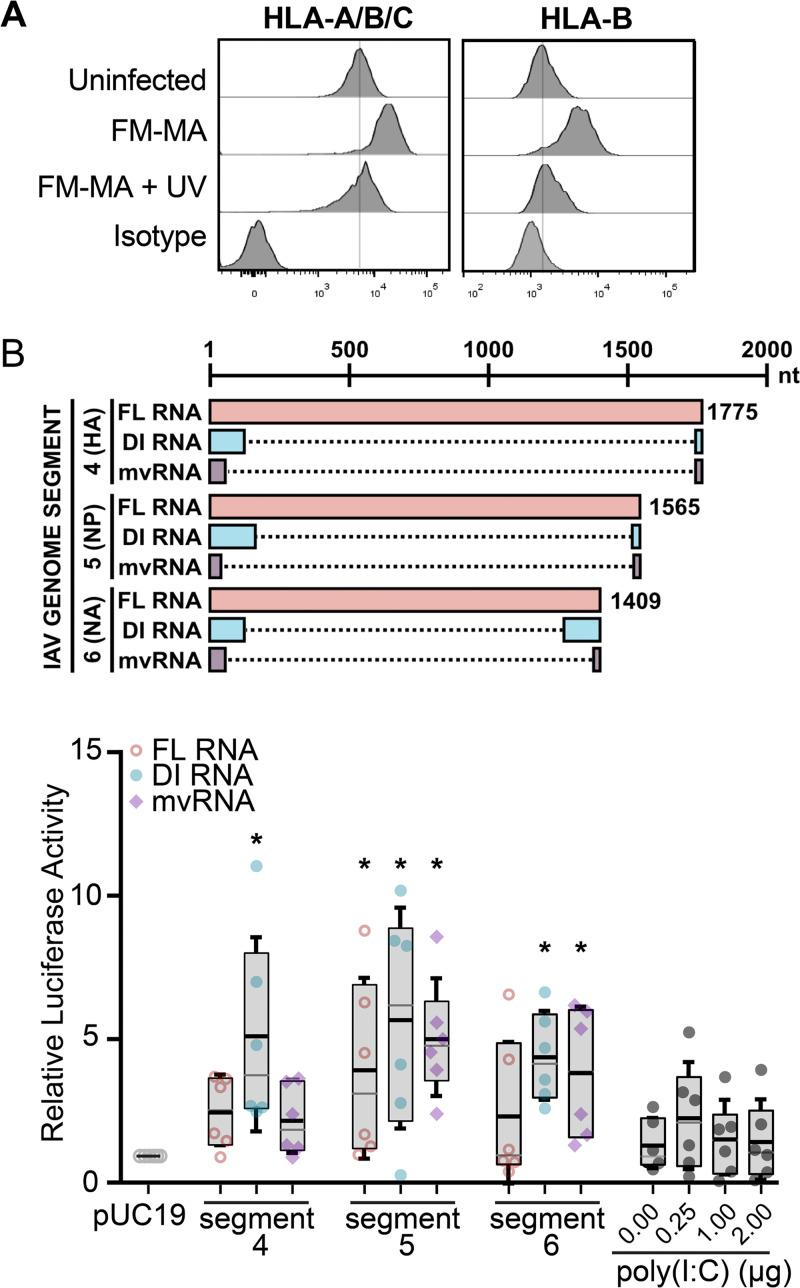 Defective viral RNAs increase ISRE-dependent luciferase activity in A549 cells. (A) FM-MA inoculum was exposed to UV light prior to infection of A549 cells at MOI of 1. At 17 hpi, cells were fixed and immunostained with a pan-anti-HLA-A/B/C antibody or an anti-HLA-B antibody and processed for flow cytometry. The vertical lines indicate the HLA expression level in uninfected cells. Representative data from one out of two independent experiments is shown. (B) (Top) Cartoon compares RNAs derived from the indicated genome segments and expressed from pPolI-based minireplicon plasmids, including full-length (FL) vRNA, defective interfering (DI) vRNA, or mini-viral RNA (mvRNA); dashed lines mark internal deletions on the DI RNAs and mvRNAs. (Bottom) A549 cells were transfected with IAV minireplicons expressing the indicated FL vRNAs, DI RNAs, or mvRNAs derived from the indicated genome segments. An ISRE-driven firefly luciferase reporter plasmid was cotransfected with minireplicon plasmids to measure IFN signaling, along with a Renilla luciferase plasmid that served as normalization control. Poly(I·C) and an empty pUC19 plasmid served as positive and negative controls, respectively. Firefly luciferase activity was normalized to Renilla luciferase control for each sample, and data were expressed as fold change compared with pUC19 plasmid transfection ( n = 6; *, P
