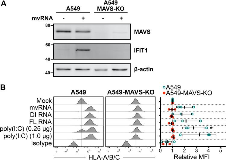 Defective viral RNAs increase surface HLA presentation in a MAVS-dependent manner. (A) A549 cells or A549-MAVS-KO cells were transfected with IAV minireplicon expressing mvRNA from genome segment 5 or empty pUC19 control for 24 h prior to harvest of protein lysates and immunoblotting with antibodies for the indicated target proteins. (B) A549 cells or A549 MAVS-KO cells were transfected with IAV minireplicon expressing defective vRNAs from genome segment 5 and analyzed by flow cytometry at 48 h posttransfection via surface immunostaining with a pan-anti-HLA-A/B/C antibody ( n = 3). Histograms from a representative experiment are shown on the left; the vertical lines indicate the expression level of the target in uninfected cells. On the right, relative MFI values from at least 3 independent experiments are shown. *, P