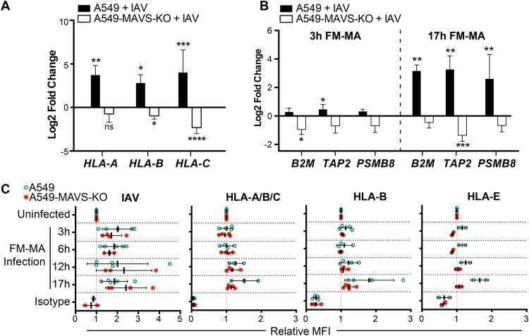 Class I HLA upregulation in IAV-infected cells is MAVS dependent. A549 cells or A549-MAVS-KO cells were infected with FM-MA at an MOI of 1. RNA was harvested for RT-qPCR at 3 hpi or 17 hpi. (A) Relative fold change in HLA-A, -B, and -C transcript levels in A549 cells or A549-MAVS-KO cells at 17 hpi ( n = 3). (B) Relative fold change in B2M, TAP, and PSMB8 transcript levels in A549 and A549 MAVS-KO cells at 3 hpi or 17 hpi ( n = 3). (C) Relative MFI of cell surface HLA proteins in FM-MA-infected A549 cells and A549-MAVS-KO cells at indicated times, relative to uninfected controls. *, P